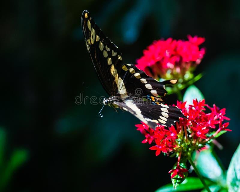 wielki swallowtail obrazy royalty free