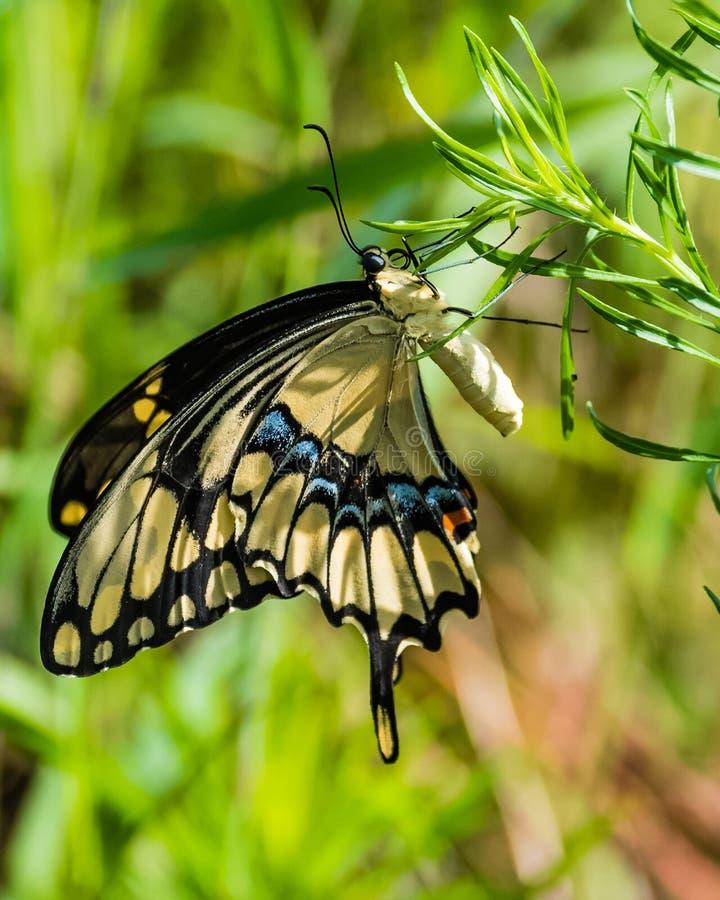 wielki swallowtail fotografia royalty free