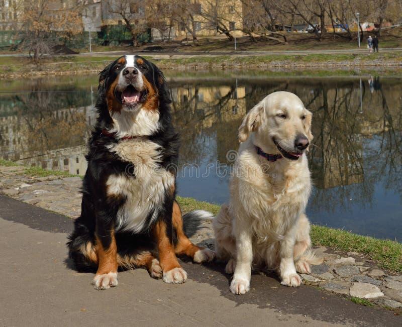 Wielki Szwajcarski góra pies, golden retriever i obraz royalty free