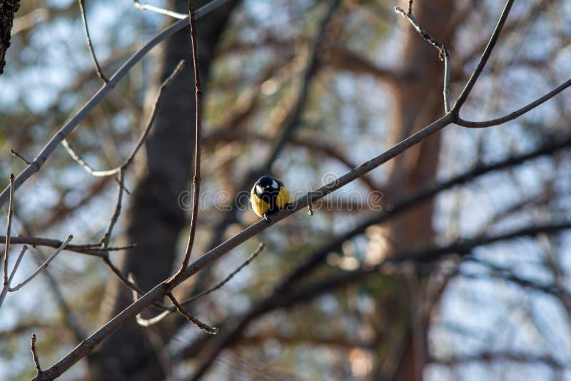 Wielki tit siedzi na nagiej gałąź drzewo iluminujący światłem słonecznym i spojrzeniami w kamerę w gotowości latać daleko od obrazy royalty free