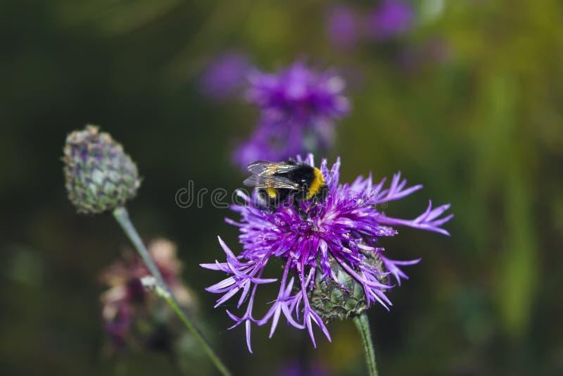 Wielki trzmiel zbiera nektar z kwiatu burdocka obrazy stock