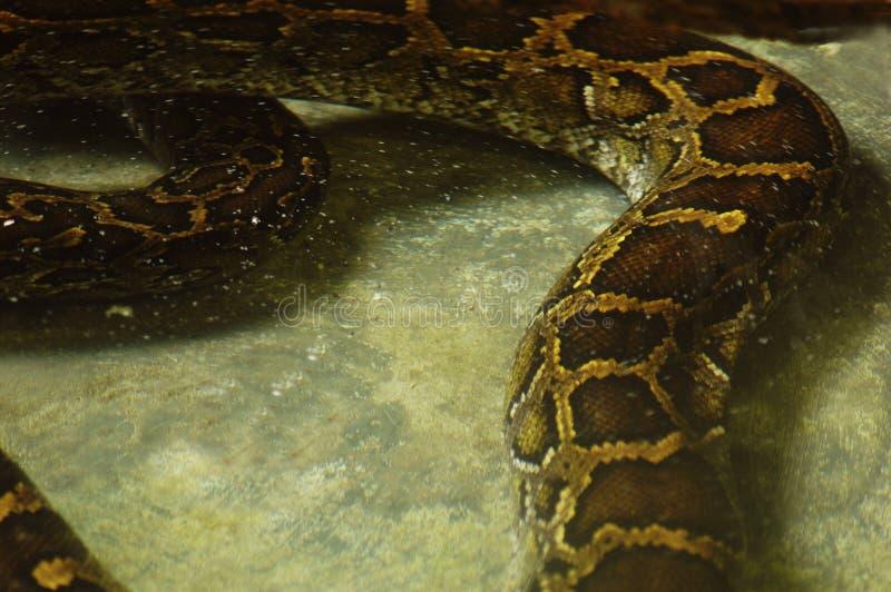 Download Wielki wąż pytona zdjęcie stock. Obraz złożonej z łupa - 139584