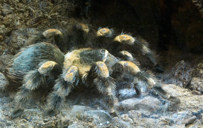 wielki włochaty pająk zdjęcia royalty free