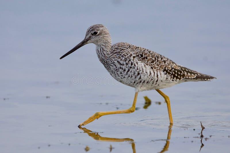 Wielki yellowlegs pokazuje daleko swój długie żółte nogi gdy ono kroczy przez płytkiej wody obrazy royalty free