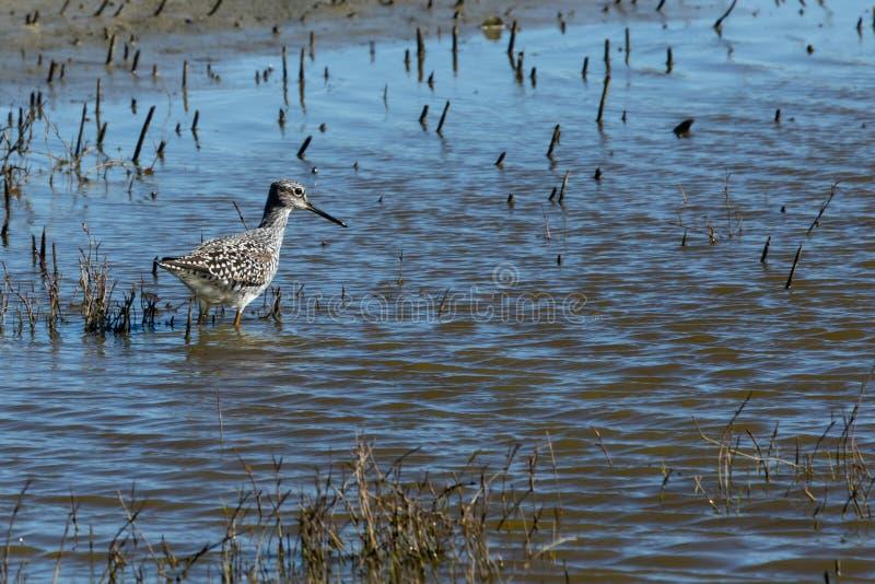 Wielki Yellowlegs w b??kitne wody przy Sacramento rezerwat dzikiej przyrody obraz royalty free