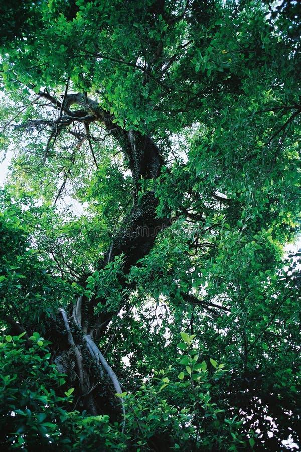 wielki zielony drzewo ilustracji