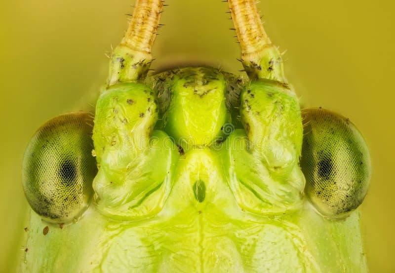 Wielki Zielony krykiet, Wielki Zielony Bush krykiet, Tettigonia viridissima fotografia royalty free