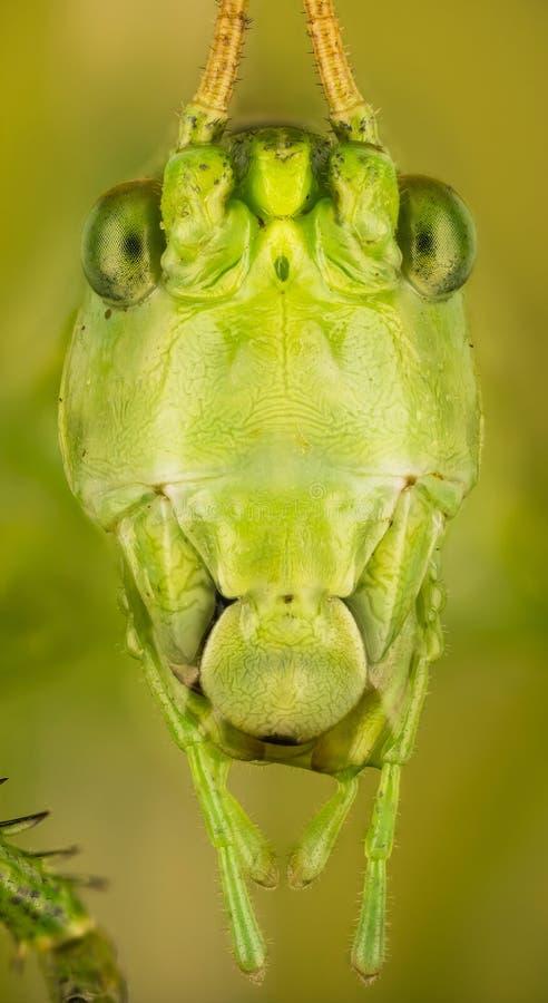 Wielki Zielony krykiet, Wielki Zielony Bush krykiet, Tettigonia viridissima zdjęcie stock