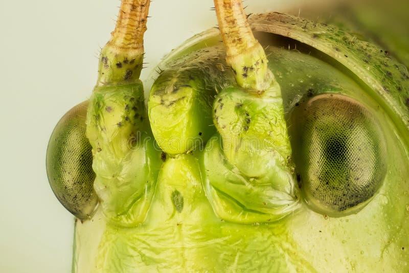 Wielki Zielony krykiet, Wielki Zielony Bush krykiet, Tettigonia viridissima obrazy royalty free