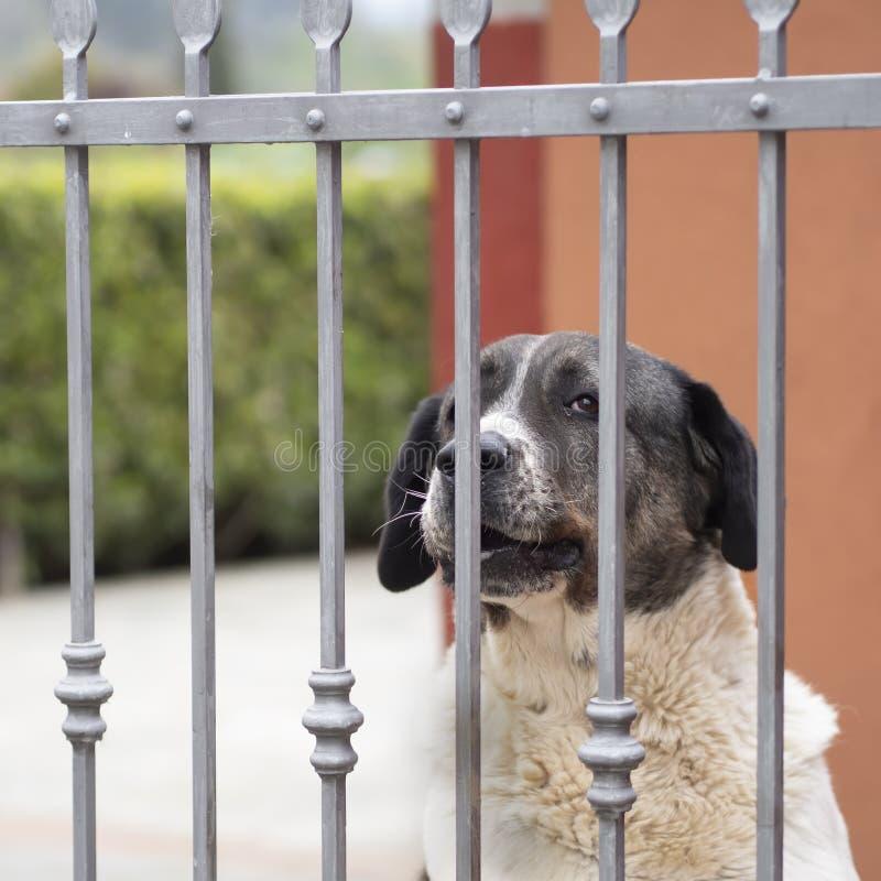 Wielki zwierzę domowe pies przy ogródem, jard bramą dla ochrony i zwierzęcia domowego, obrazy stock