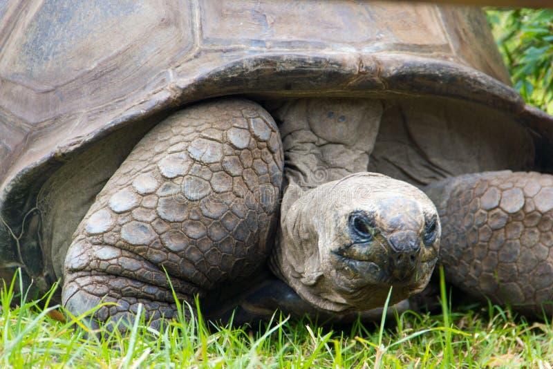 wielkie żółwie fotografia stock