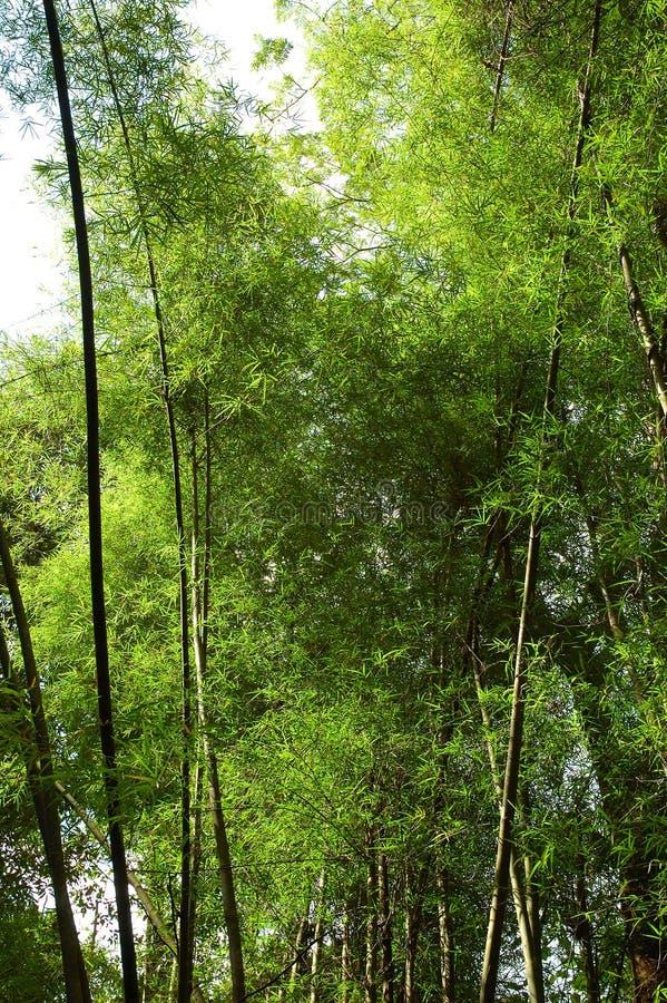 wielkie bambusowi łodygi obraz stock