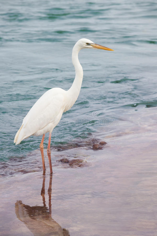 wielkie białe heron obraz royalty free