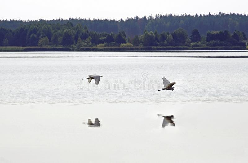 wielkie białe heron Letni dzień w Sierpniowym jeziorze ptaki Woda i odbicie obraz stock