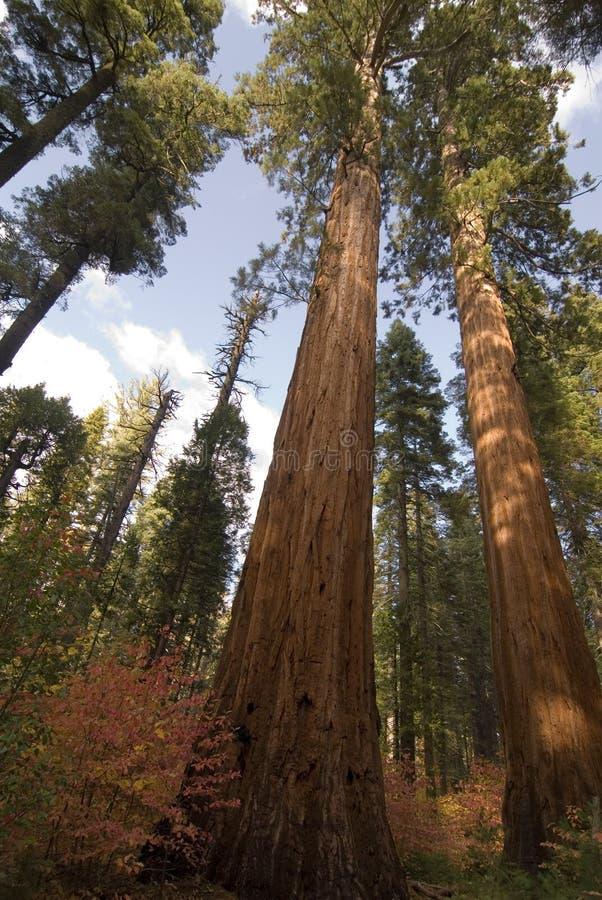 wielkie calaveras stanu drzew park fotografia royalty free