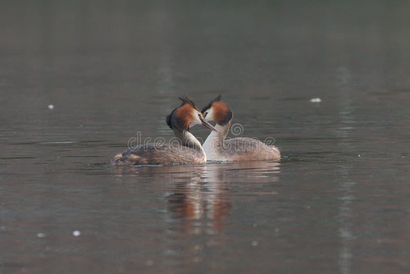 Download Wielkie czubaci perkozy zdjęcie stock. Obraz złożonej z ptak - 132540