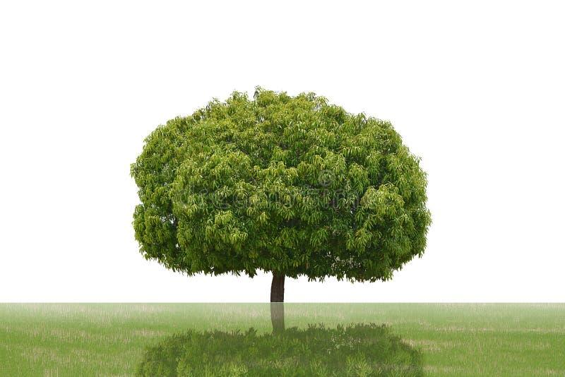 Wielkie drzewa zielone wyizolowane na białym tle, drzewa tropikalne wyizolowane z przeznaczeniem do projektowania, reklamy i arch zdjęcie royalty free