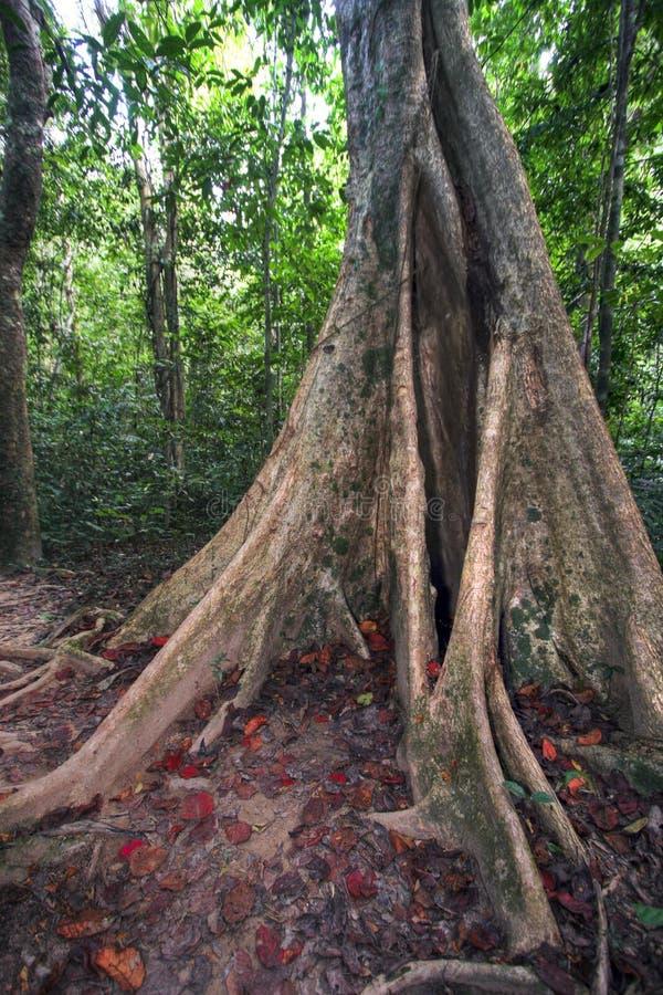 wielkie drzewo ficus dżungli fotografia royalty free