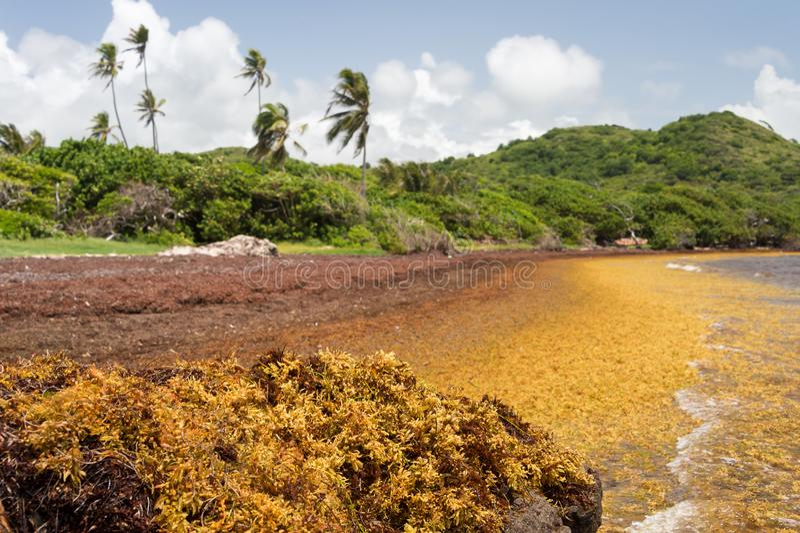 Wielkie ilości Sargassum gałęzatka kłaść na ląd obrazy royalty free
