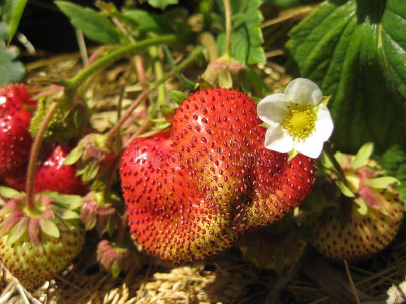 Wielkie jagodowe dojrzałe truskawki i biały kwiat w ogródzie, zakończenie zdjęcia royalty free