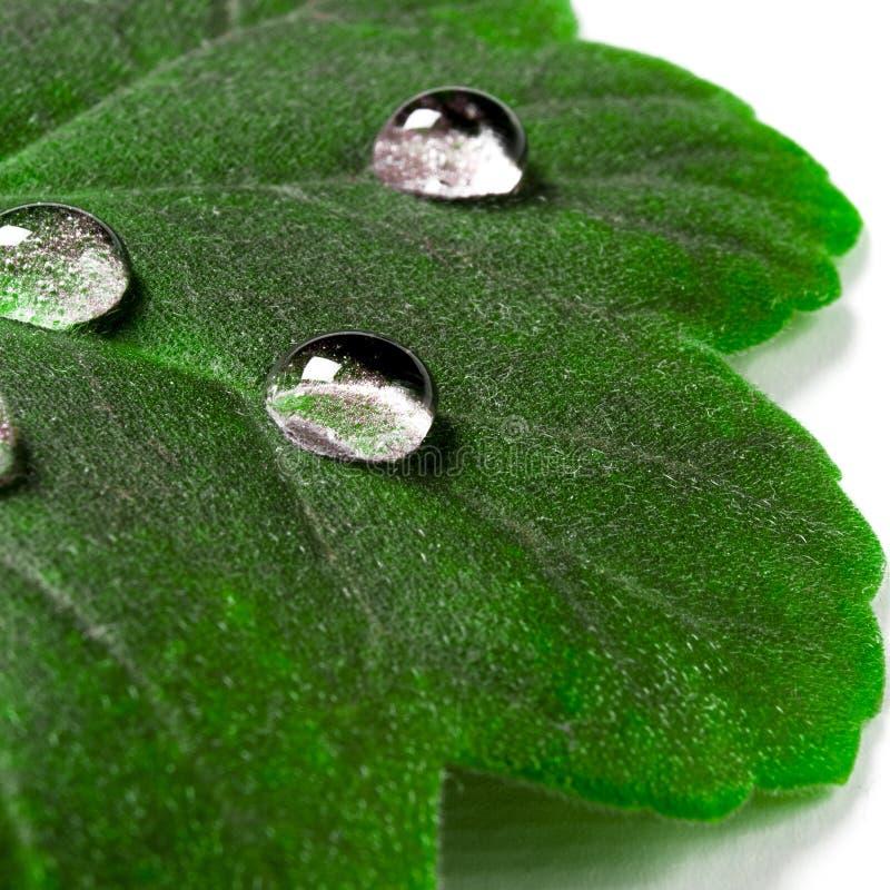 Wielkie pi?kne krople przejrzysta podeszczowa woda na zielonym li?ciu makro- Krople rosa w ranku jarz? si? w s?o?cu Pi?kny li?? obrazy royalty free