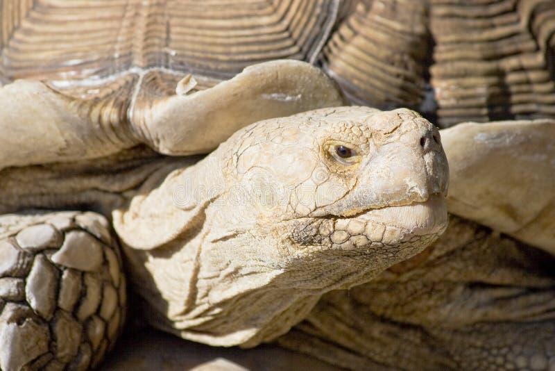 wielkiego żółwia fotografia stock