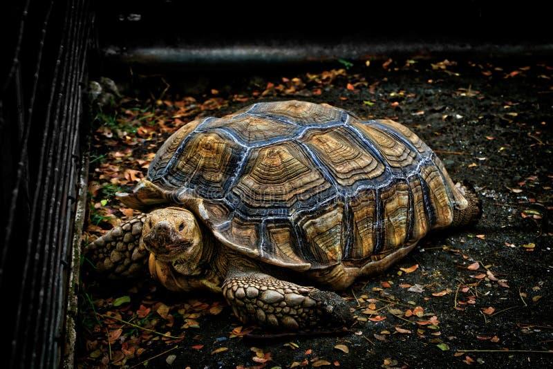 wielkiego żółwia zdjęcie stock