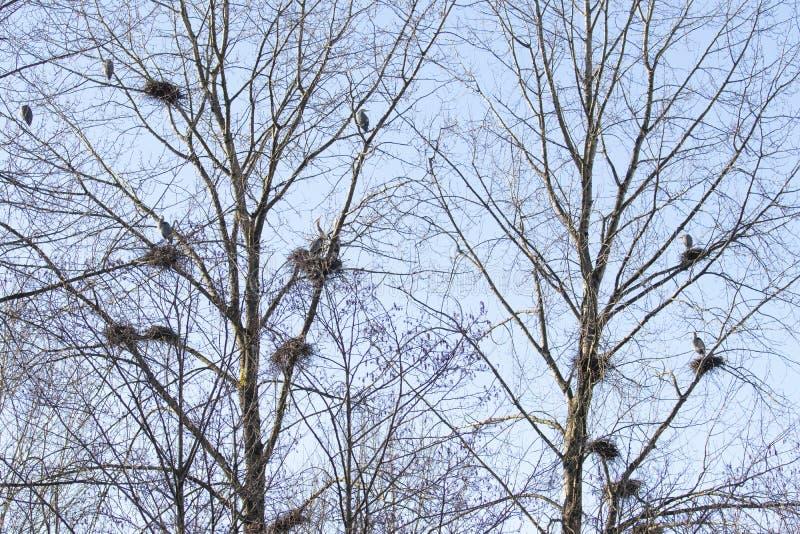 Wielkiego błękita czapla gniazduje miejsce zdjęcie stock