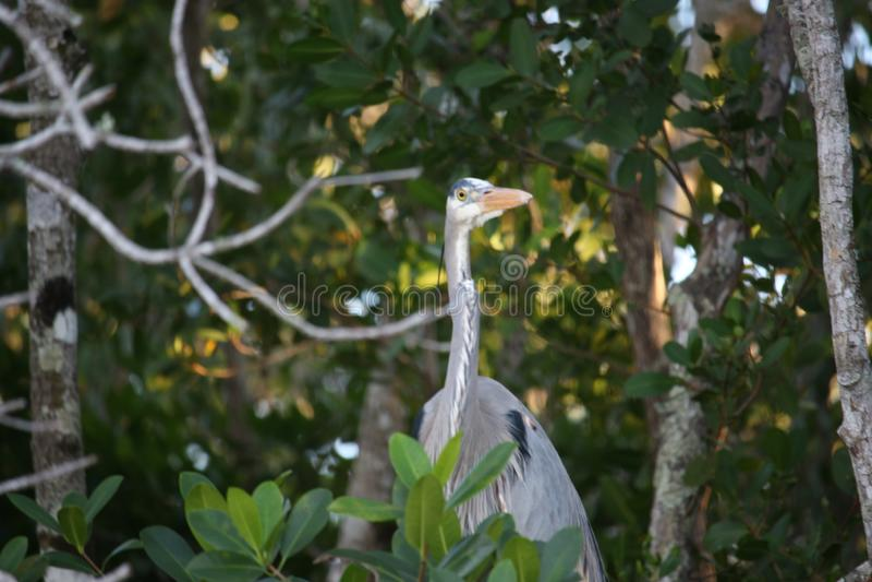 Wielkiego błękita czapla w Floryda błotach fotografia royalty free