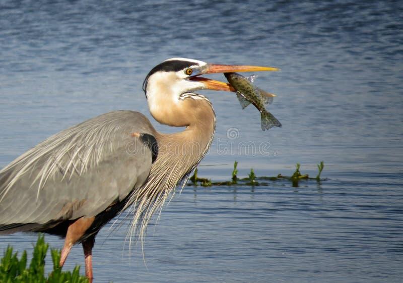 Wielkiego błękita czapla Łapie ryba zdjęcia royalty free