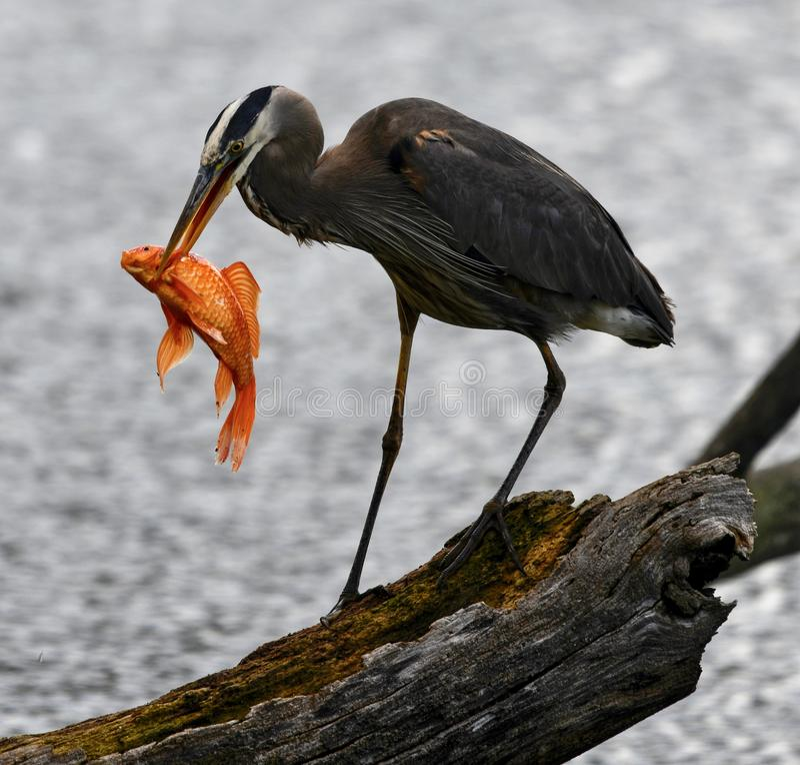 Wielkiego błękita czapla -1 i ryba zdjęcia royalty free