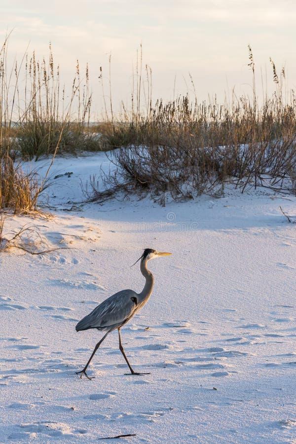 Wielkiego błękita czapla na fortu Pickens plaży zdjęcie stock