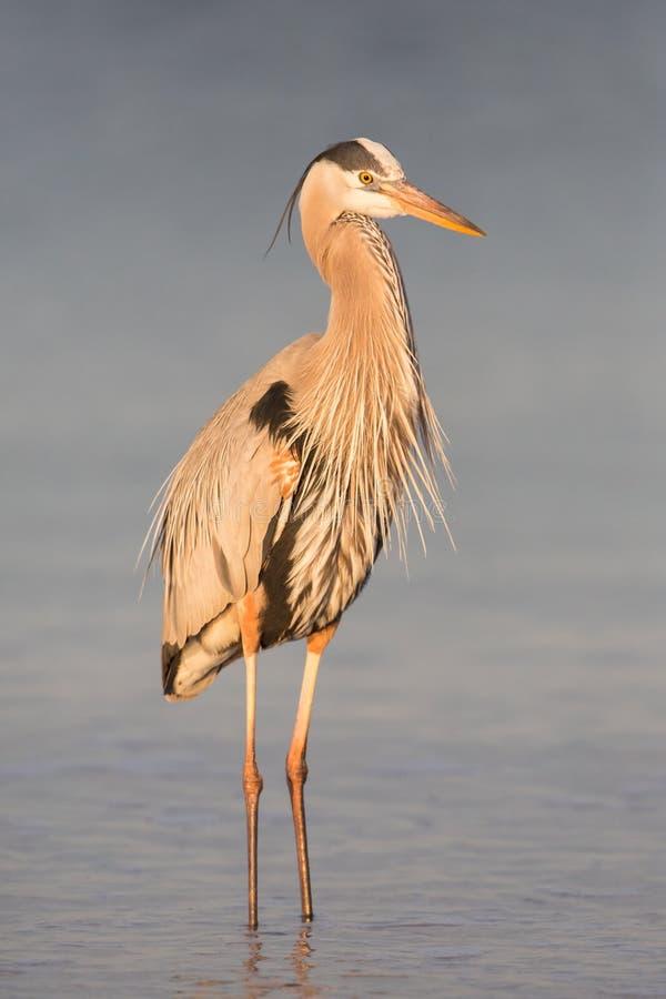 Wielkiego błękita czapla na seashore Ardea herodias, Floryda, Stany Zjednoczone fotografia stock