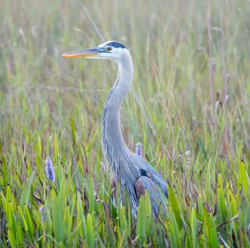 Wielkiego błękita czapla w bagnach Floryda obraz royalty free