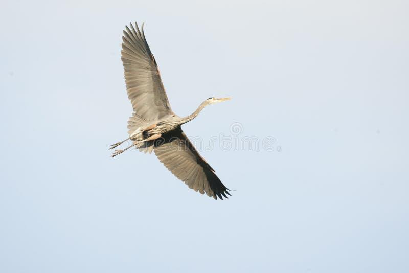 Wielkiego błękita czapla W lotów Otwartych skrzydłach fotografia stock