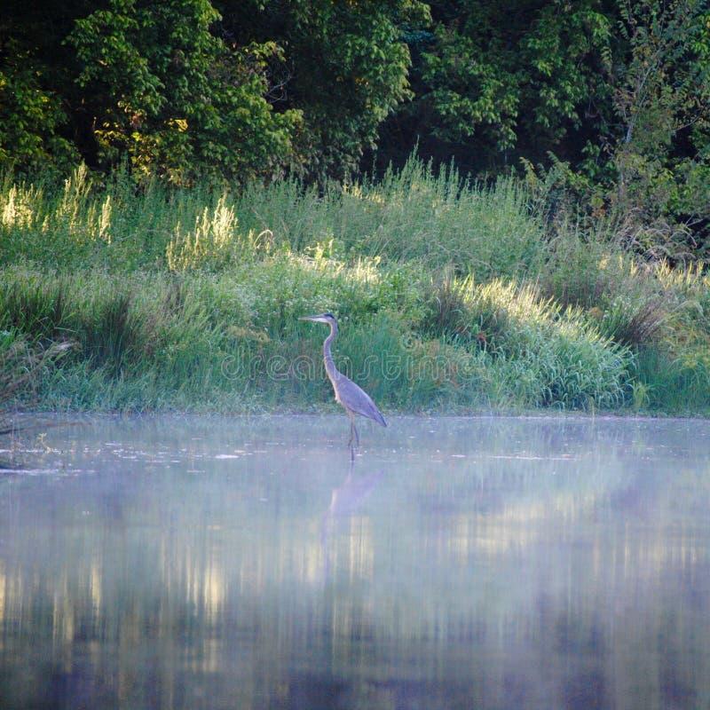 Wielkiego błękita czapla w ranek mgle zdjęcie stock