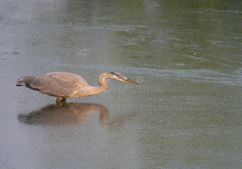Wielkiego błękita czapla Watuje w głębokiej wody Opierać Przedni Podczas gdy ryba obraz royalty free