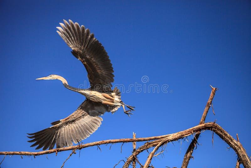 Wielkiego błękita czapli Ardea herodias patrzeją out nad oceanem obraz stock
