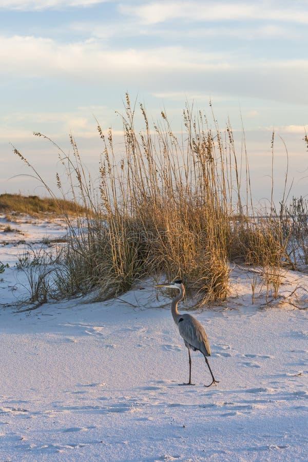 Wielkiego błękita morza i czapli owsy fotografia stock
