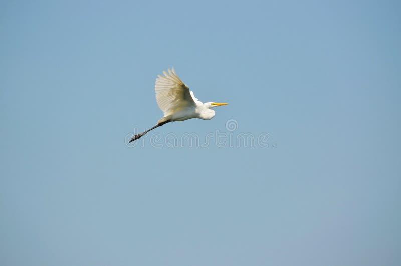 Wielkiego Białego Egret strzelista wysokość obrazy royalty free
