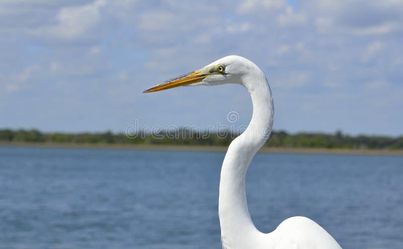 Wielkiego bielu czapla nadbrzeżna zdjęcie stock