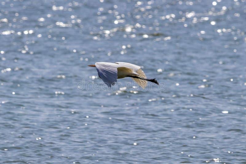 Wielkiego Egret Ptasi latanie przy swój best zdjęcie royalty free
