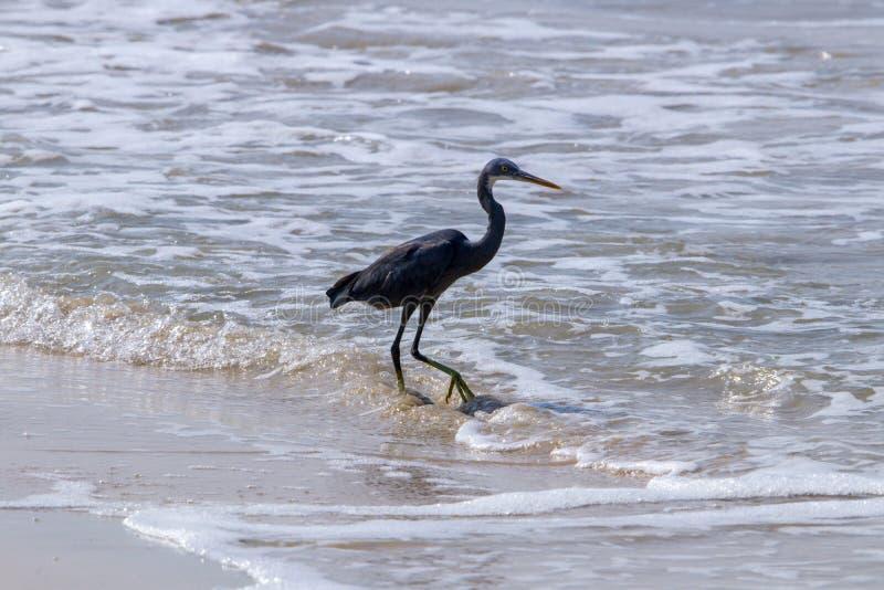 Wielkiego Egret Ptasi latanie przy swój najlepszy żurawiem ma zabawę przy plażą obrazy royalty free