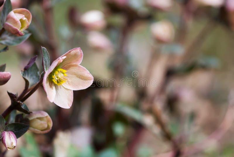 Wielkopostny róża kwiat W wiośnie zdjęcie stock