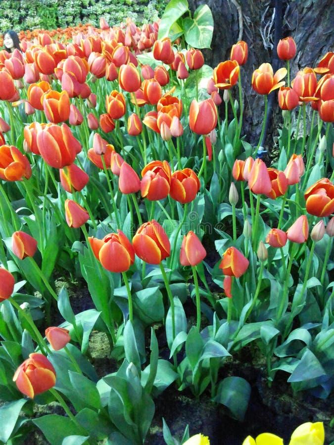 Wielo- coloured tulipany i daffodils na natury tle obraz stock