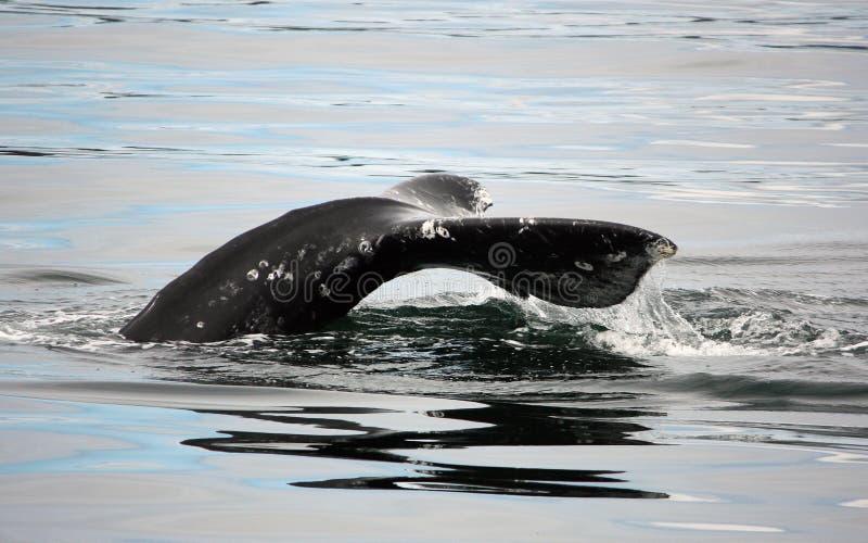 wieloryb obraz royalty free