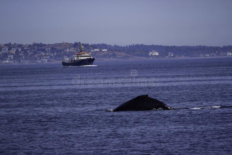 Wieloryb W oceanie w wodach z Wiktoria BC obraz royalty free