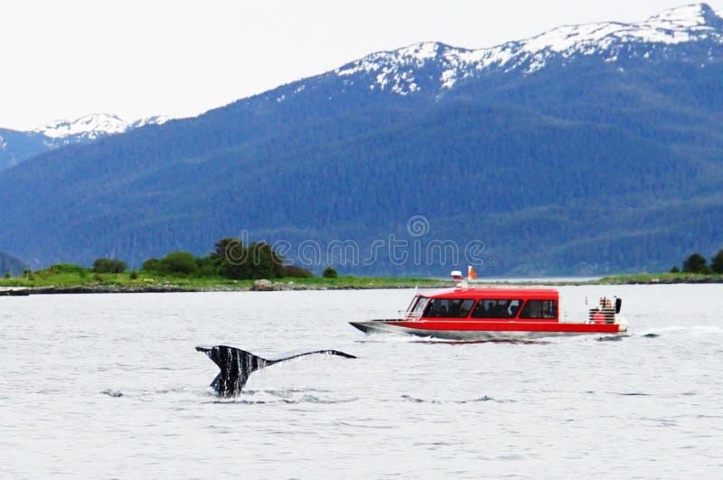 Wielorybi dopatrywanie, humpback wieloryby w Alaska zdjęcie royalty free