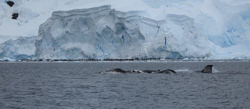 Wielorybi dopatrywanie Humpback wieloryby w Antarctica zdjęcie stock