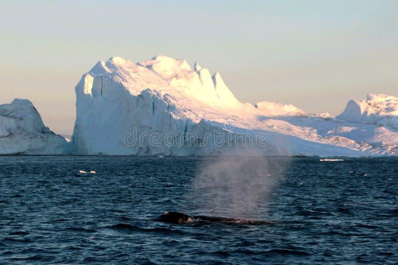 Wielorybi dopatrywanie w Ilulissat północy zdjęcie royalty free
